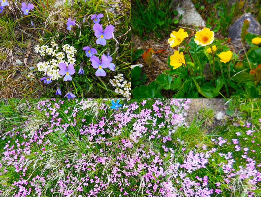 高山植物の花々