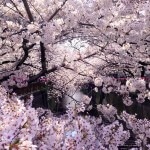 もう行った?人気のお花見スポット目黒川。見頃は今週末まで?![2016年]