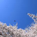 """北海道でしか食べられない!春限定の桜パンケーキ。女子に大人気♪""""サッポロパンケーキ MINT"""""""