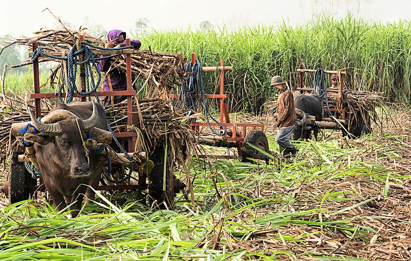 フィリピンのサトウキビ畑