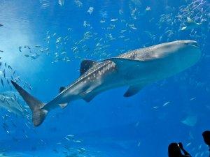 美ら海水族館、黒潮の海