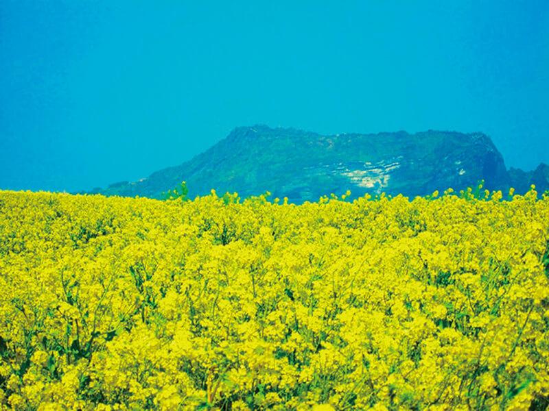 菜の花畑 イメージ