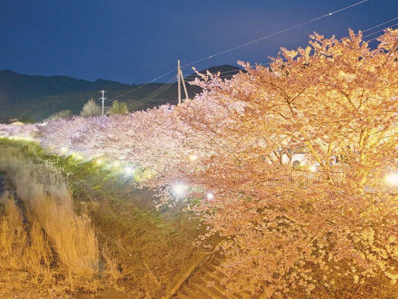 河津桜-ライトアップ
