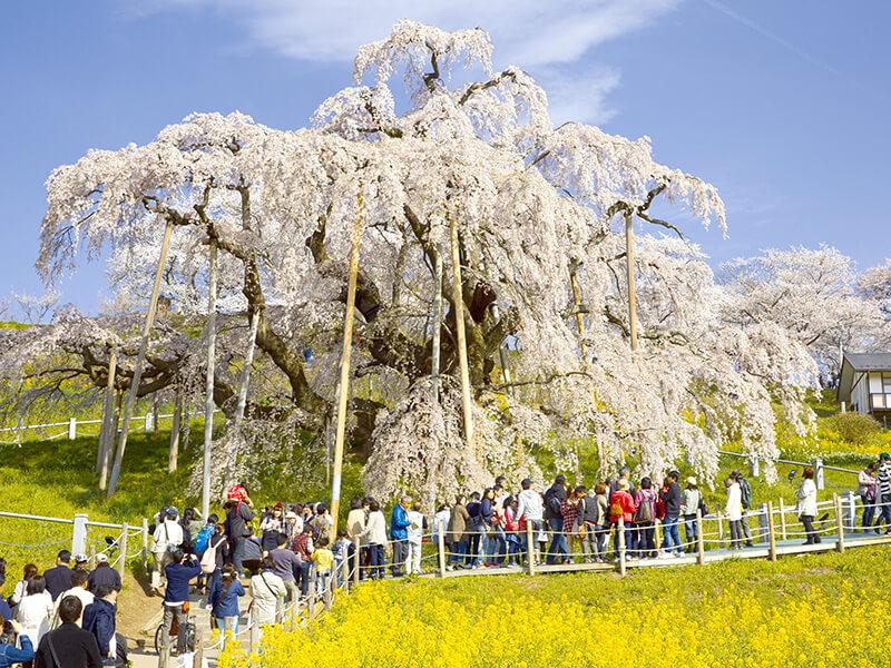 三春滝桜を見る人たち