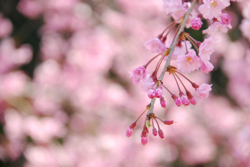 しだれ桜 イメージ