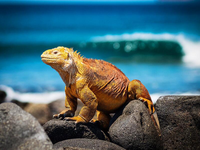 ガラパゴス諸島のイグアナ