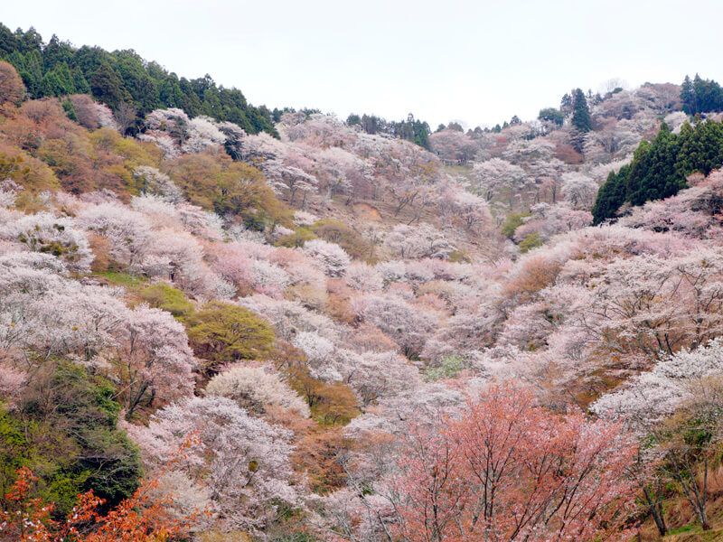 吉野千本桜