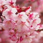 桜シーズン到来!街を華やかに彩る「日立さくらまつり」