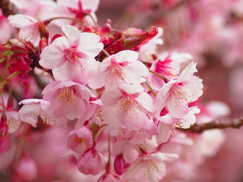 春の風物詩である桜