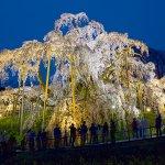 圧巻の美しさ!人生で一度は見ておきたい「三春滝桜」