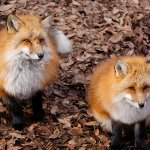 もふもふのキツネ達がこんなに間近に!癒やしの楽園・仙台の宮城蔵王キツネ村に行こう