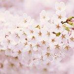日本の国花は菊と桜!他の国の国花って、な~んだ?