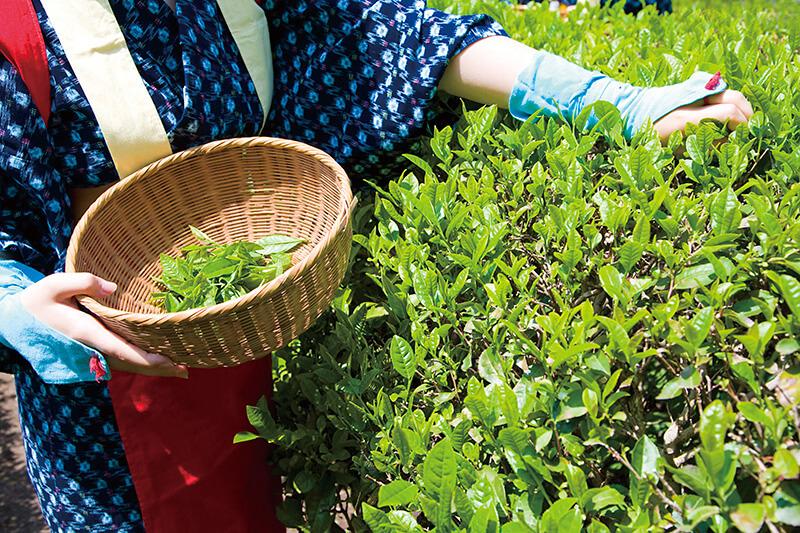 2017年は茶娘デビューしてみませんか?お茶摘み体験で古き良き和の文化を満喫しよう!