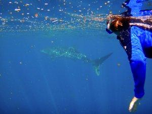 ニンガルー・リーフでジンベエザメと遊泳