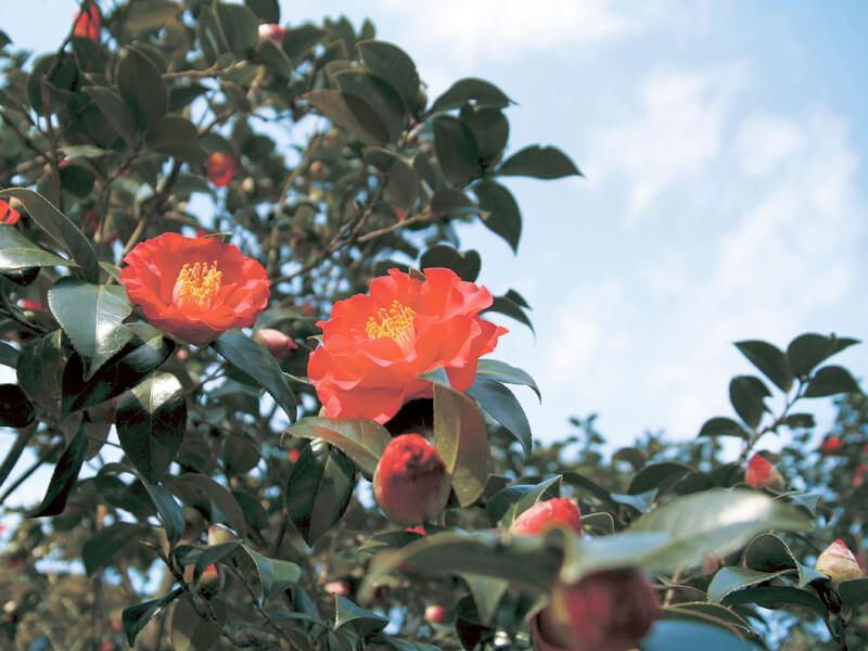 伊豆大島の椿