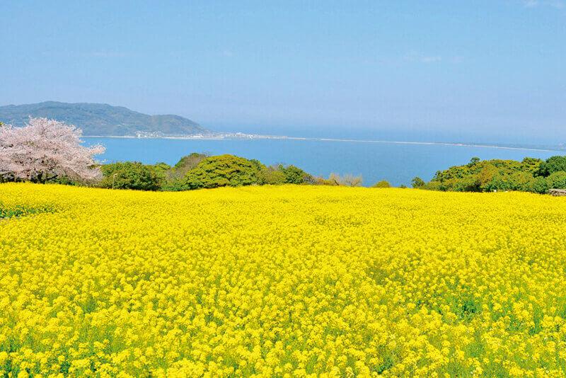 能古島の菜の花畑
