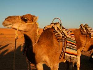 サハラ砂漠 ラクダ