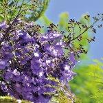 「紫のさくら?!」なんてあるの? とにかく美しすぎるジャカランダを見に行こう♪