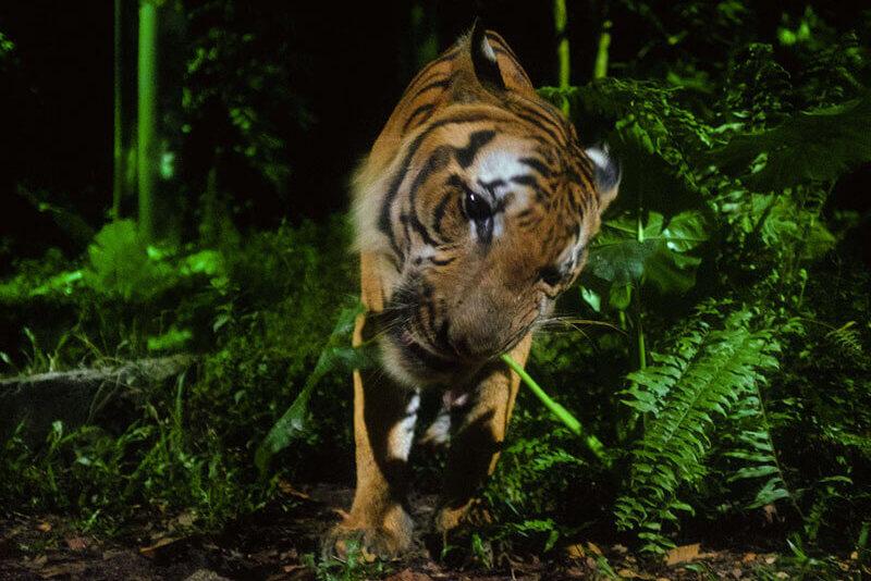 ナイトサファリの虎