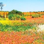 1年に1度だけ砂漠地帯に花が咲く!神秘の花畑「ナマクワランド」に行ってみたい!