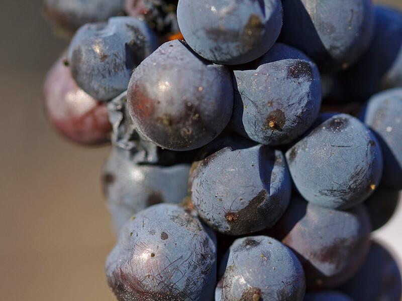 凍ったブドウの実