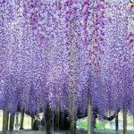 世界が認めた藤の花!栃木県「あしかがフラワーパーク」の魅力をご紹介!