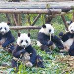 """こんな場所があったなんて♡中国・成都の""""パンダ基地""""って知ってる?"""