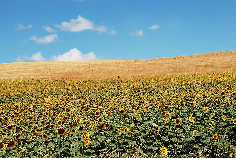 アンダルシアのひまわり畑