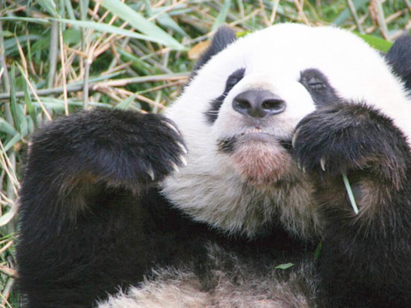 四川省のパンダ