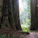 高さはなんと100m!巨大樹レッドウッドの森を歩いて癒やされてみませんか♡