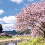 一足早い満開の桜を感じられる場所。伊豆・河津町の「河津桜まつり」で春の気分を先取り!