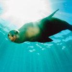 フリーマントルからフェリーで30分♪西オーストラリアの無人島「カーナック島」でアシカと泳ごう!