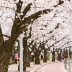 桜のシーズンは韓国も大にぎわい!韓国の花見スポット4選