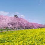 知る人ぞ知る関東屈指の桜スポットはここ!埼玉県の「権現堂桜堤」春を味わおう!