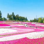 芝桜を見るならココ!まるでピンクの絨毯のような埼玉県秩父市「羊山公園」