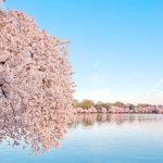 桜の名所は日本だけじゃない!? 海外の桜が美しすぎる!