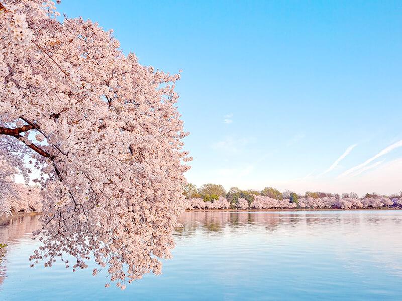 ワシントンのDC桜