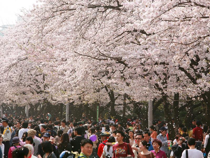 汝矣島の桜
