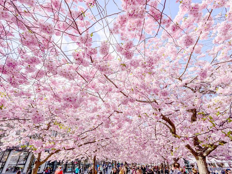スウェーデン王立公園の桜