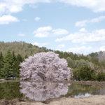 樹齢300年の一本桜!群馬県片品村の「針山の天王桜」を見に行こう