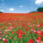 標高500mの高原に咲き誇る天空のポピーがキレイ!「秩父高原牧場」で思い切り遊ぼう!