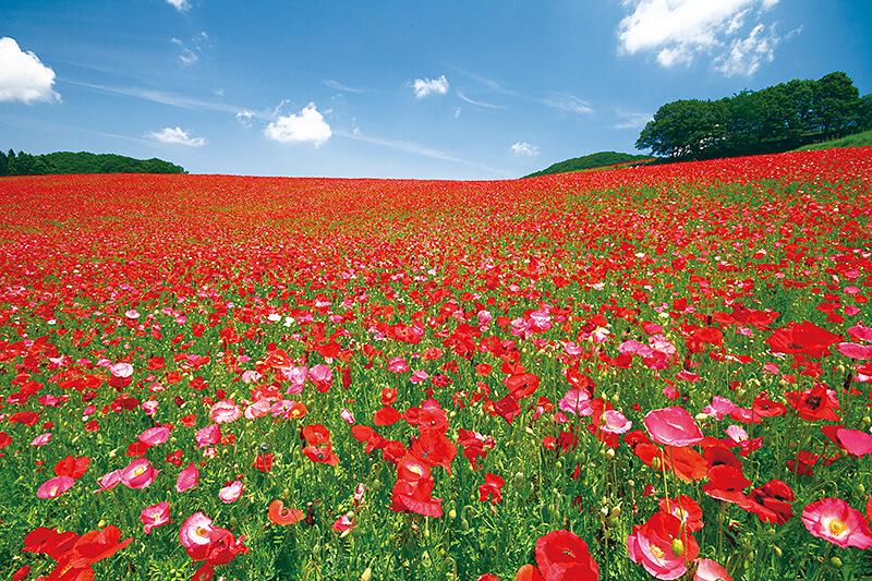 標高500mの高原に咲き誇る天空のポピーがキレイ!埼玉県・秩父高原牧場で思い切り遊ぼう!