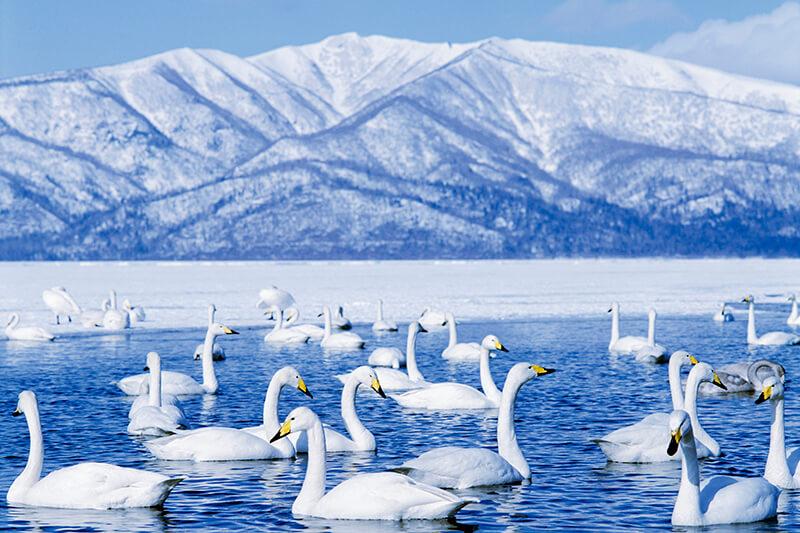 屈斜路湖 白鳥