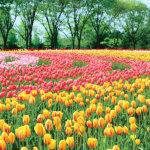 見渡す限り花の世界♪広島県の観光農場「世羅高原農場」をご紹介