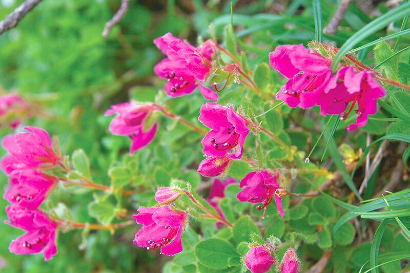 エゾツツジの咲く羅臼岳