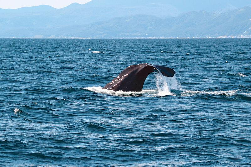 根室海峡のマッコウクジラ
