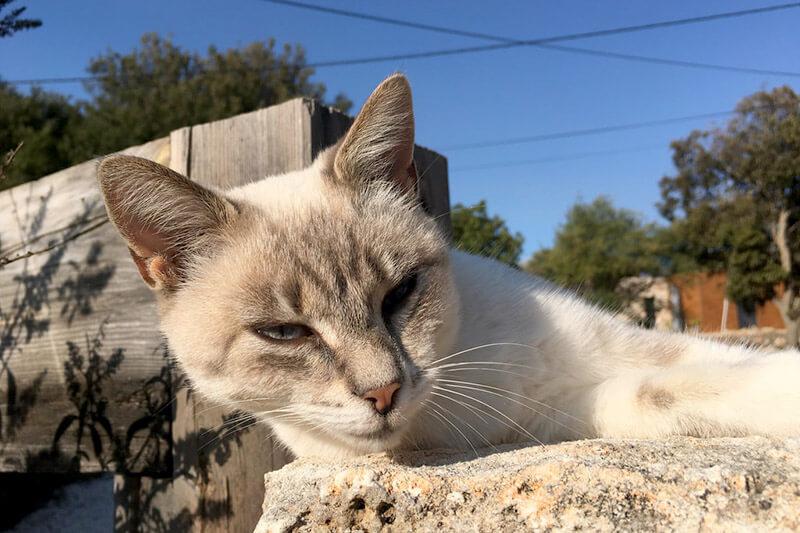 コルシカ島の猫