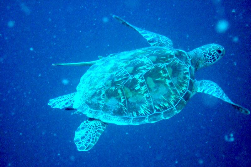 セブ島 ウミガメ