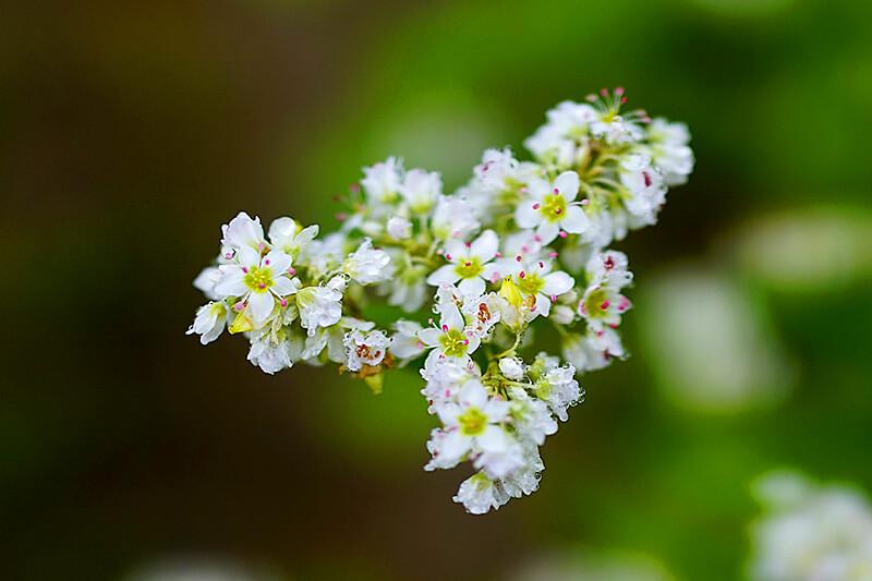 そばの花のイメージ