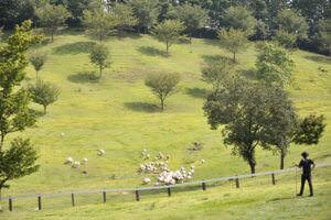 伊香保グリーン牧場 羊